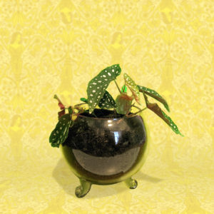 begonia plant in glass sphere vase with glass feet