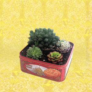 one large and three small succulents planted in a tin box